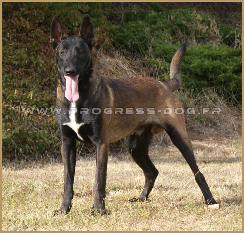 Vente chiens dressés, chiens adultes pour protection, Malinois